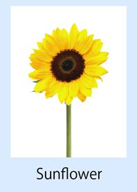 可愛的向日葵