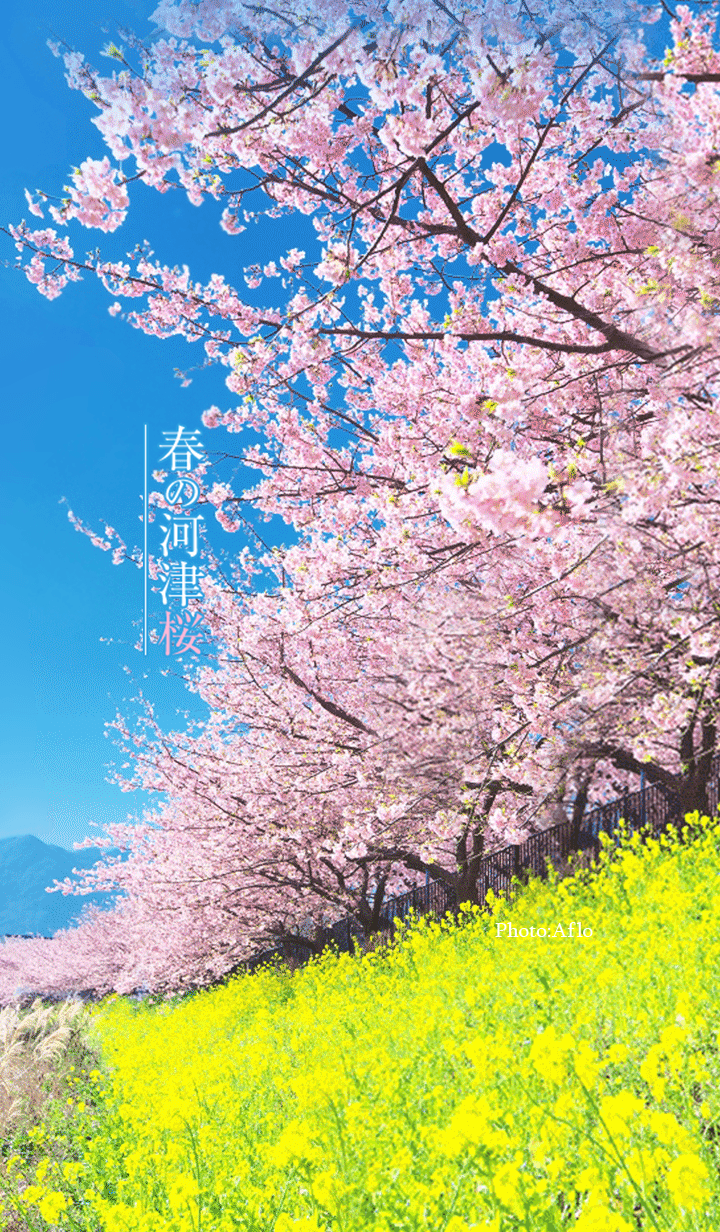 Kawazu cherry blossoms in spring