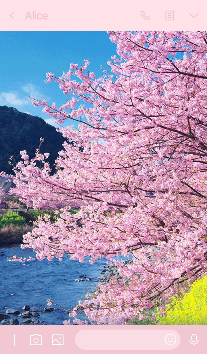 Kawazu cherry blossoms in spring