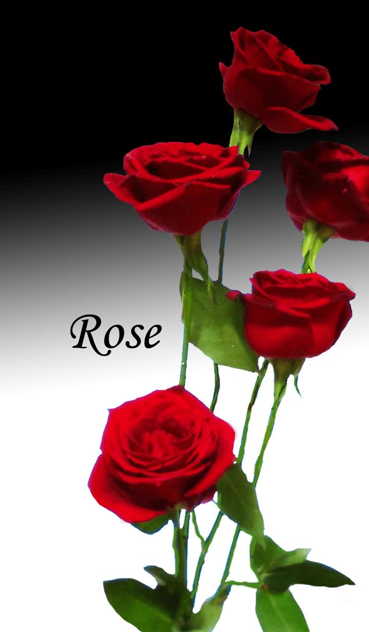 Elegant and beautiful rose flower