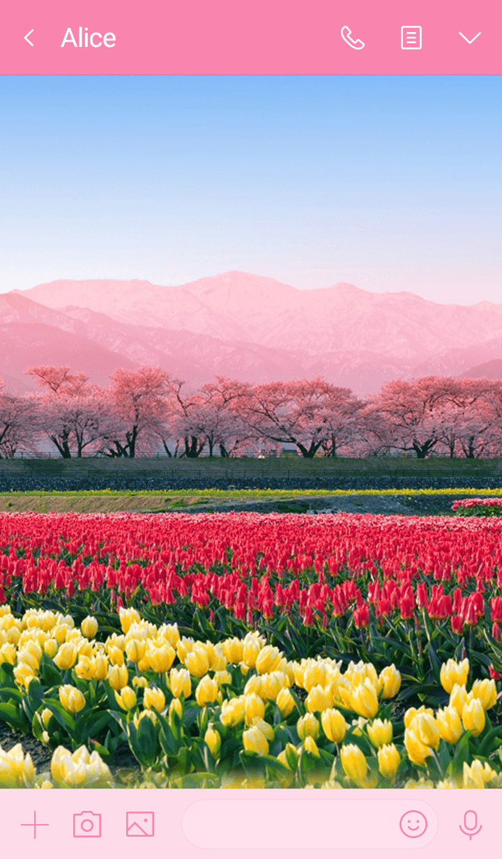 Row of cherry blossom trees and tulips