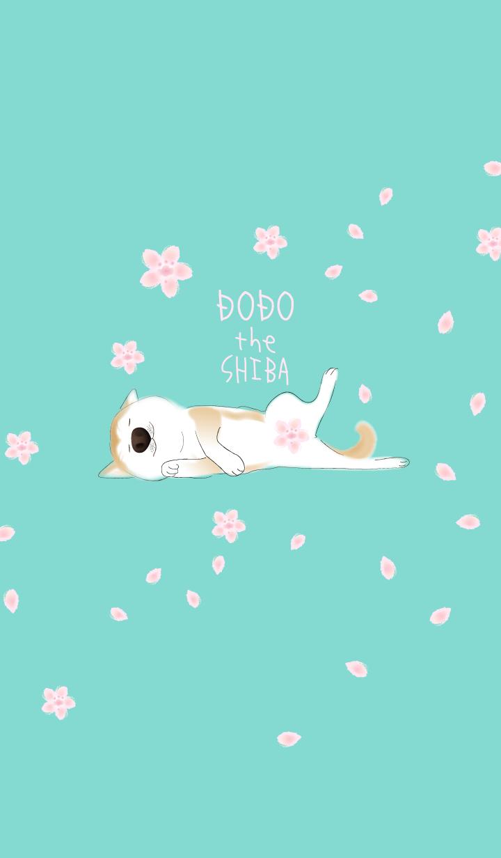 柴犬ドォドォ桜バージョン