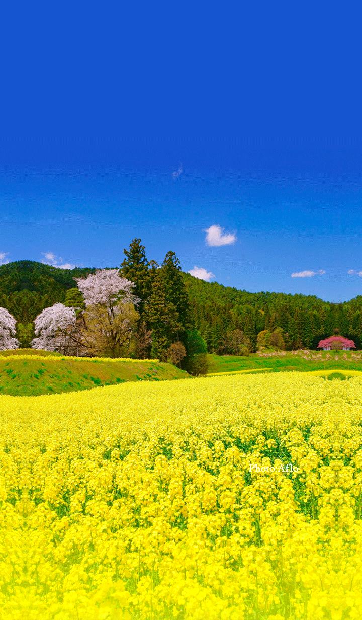 棚田に咲く菜の花