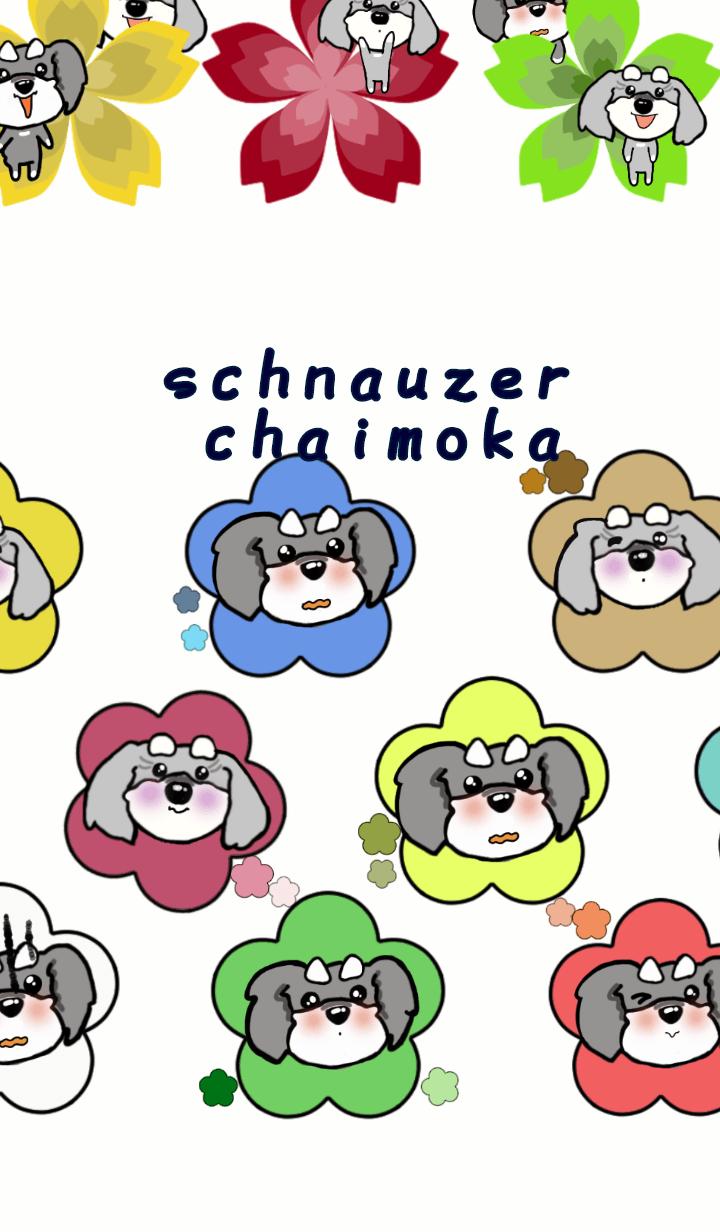 schnauzer chaimoka 3