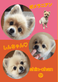 cute pomeranian shin chan no.4