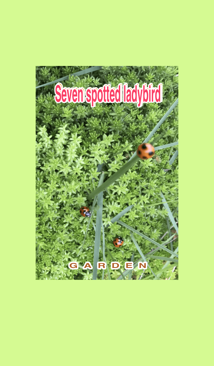 Hareruki of Seven spoted ladybird
