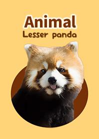 Animal -Lesser panda-