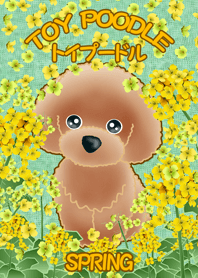 TOY POODLE TOY POODLE (in spring)