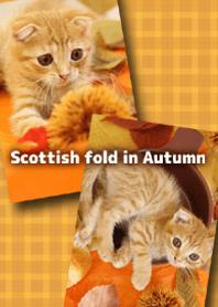 Scottish fold in Autumn