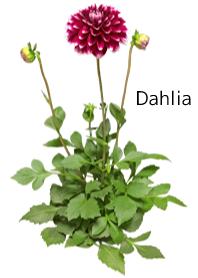 A lot of dahlia