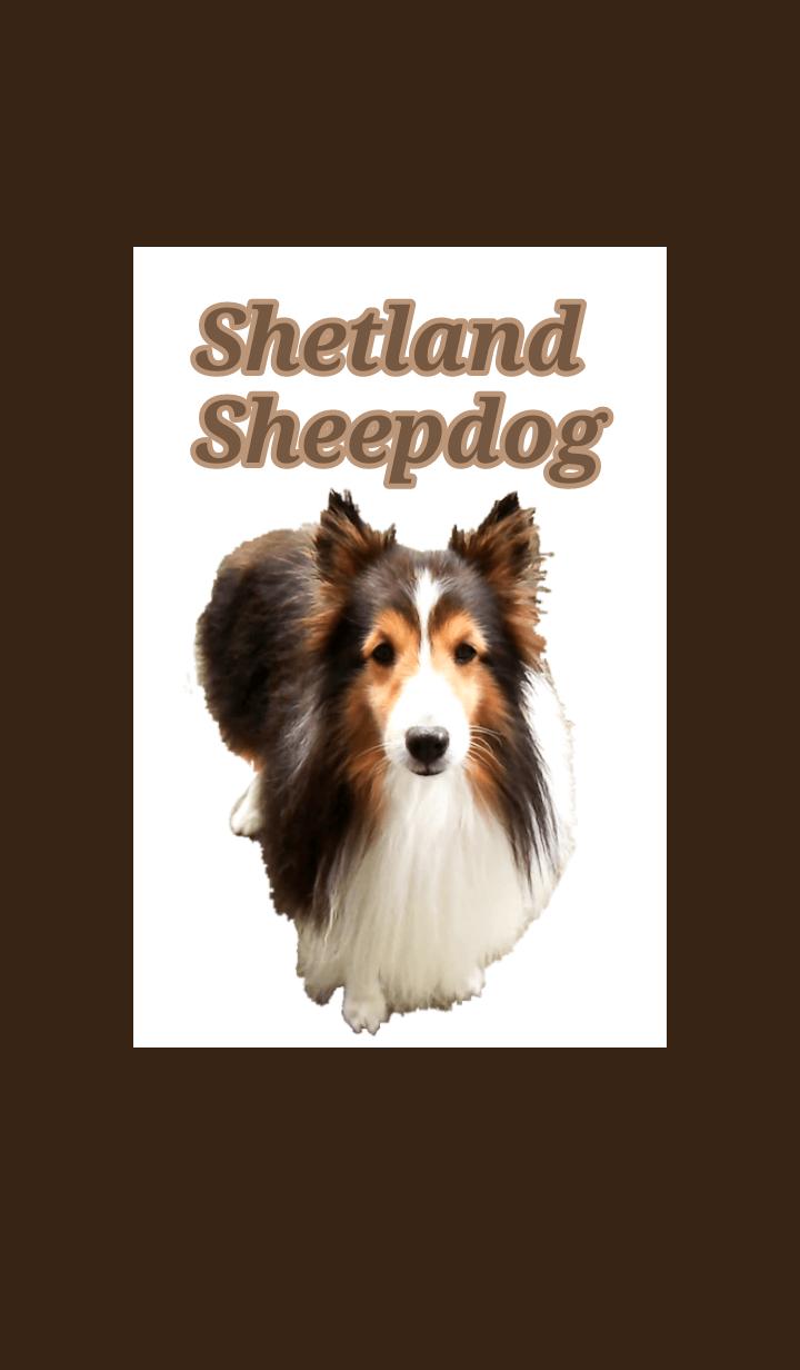 Cute Sheltie (Shetland Sheepdog)theme