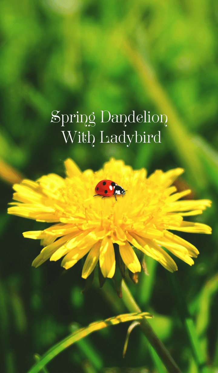 Spring Dandelion With Ladybird