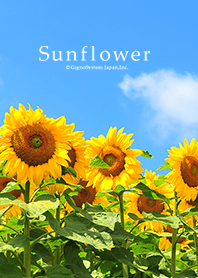 Theme of Sun Flowers